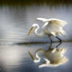 1927 Great Egret (Ardea alba)