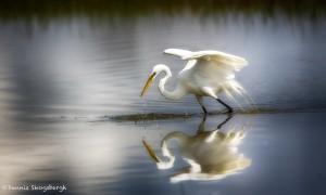 1927 Great Egret (Ardea alba)