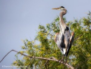 1935 Great Blue Heron (Ardea herodias)