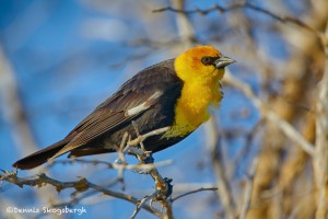 1938 Yellow-headed Blackbird (Xanthocephalus xanthocephalus)