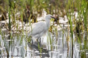 1941 Snowy Egret (Egretta thula)