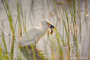 1943 Snowy Egret (Egretta thula)