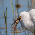 2070 Snowy Egret (Egretta thula)