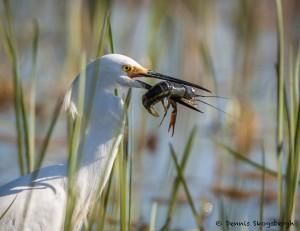 2071 Snowy Egret (Egretta thula)