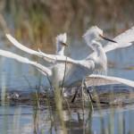 2072 Turf Wars, Snowy Egrets (Egretta thula)
