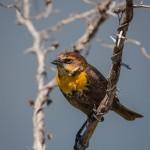 2073 Female Yellow-headed Blackbird (Xanthocephalus xanthocephalus)