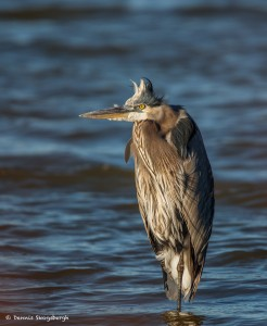 2102 Great Blue Heron (Ardea herodias)