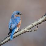 2313 Male Eastern Bluebird (Sialia sialis)