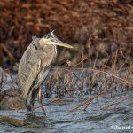 6071 Great Blue Heron, Hagerman NWR, TX