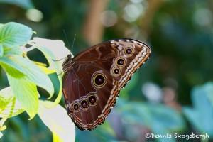 1450 Blue Morph, (Morpho peleidas), Rosine Smith Sammons Butterfly House and Insectarium, Dallas, TX