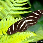1452 Zebra Longwing (Heliconius charithonia), Rosine Smith Sammons Butteryfly House and Inectarium, Dallas, TX