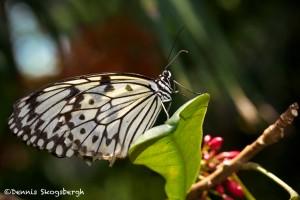 1453 Paper Kite (Idea leuconoe), Rosine Smith Sammons Butterfly House and Insectarium, Dallas, TX