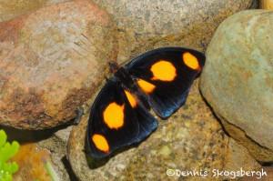 1488 Grecian Shoemaker (Catonephele numilia), Rosine Smith Sammons Butterfly House and Insectarium, Dallas, TX