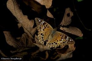 1868 Butterfly, Hackberry Emperor (Asterocampa celtis)