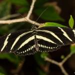 2269 Zebra Longwing (Heliconius charithonia)