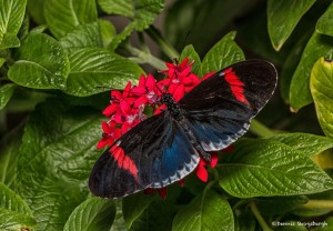 2276 Postman (Heliconius) Butterfly