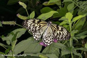 3031 Paper Kite (Idea leuconia). Rosine Smith Sammons Butterfly House & Insectarium, Dallas, TX