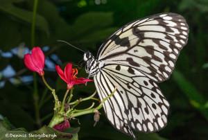 3032 Paper Kite (Idea leuconia). Rosine Smith Sammons Butterfly House & Insectarium, Dallas, TX
