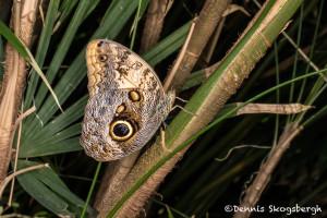 3035 Owl Butterfly (Caligo memnon). Rosine Smith Sammons Butterfly House & Insectarium, Dallas, TX