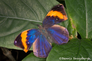 3036 Indian Leaf Butterfly (Kallima paralekta). Rosine Smith Sammons Butterfly House & Insectarium, Dallas, TX