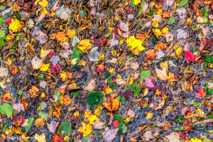 2984 Colored Leaves at Somesville Bridge, Acadia National Park, ME