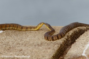 1517 Banded Water Snakes