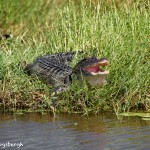 1544 Alligator