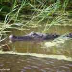 1545 Alligator
