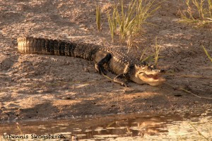 1555 Alligator, Anahuac National Wildlife Refuge, TX
