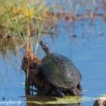 1568 Mud Turtle