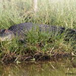 1640 American Alligator (Alligator mississippiensis)