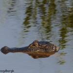 1641 American Alligator (Alligator mississippiensis)