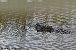 1652 American Alligator (Alligator mississippiensis), Anahuac National Wildlife Refuge, TX