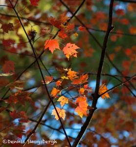 1736 Autumn Color
