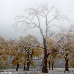 1759 Autumn Color, Yosemity Meadow, Black Oak Trees, Fog