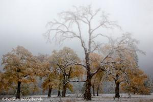 1759 Autumn Color, Yosemity Meadow, Black Oak Trees, Fog