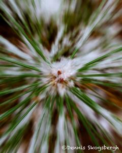 1761 Pine Needles with Snow