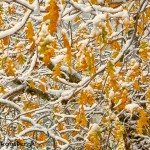 1774 Fresh Snow, Autumn Color