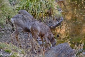 1782 Mule Deer, Drink at Dusk