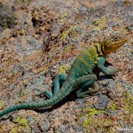 1843 Common Collared Lizard