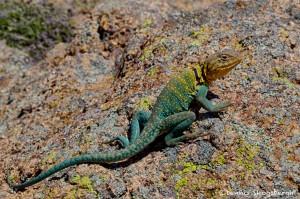 1843 Common Collared Lizard