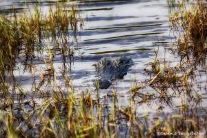 1891 American Alligator (Alligator mississippiensis)