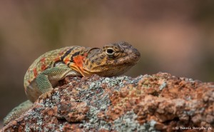2074 Common Collared Lizard Crotaphytus collaris)