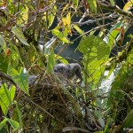 1951 Boat-billed Heron chick