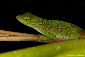 1955 Green Tree Lizard