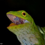 1956 Green Tree Lizard