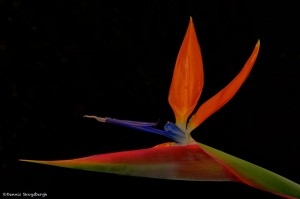 1957 Bird of Paradise Flower (Strelitzia reginae)