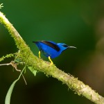 1961 Shining Honeycreeper (Cyanerpes lucidus), Laguna del Lagarto, Costa Rica