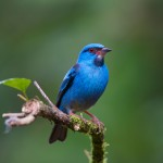 1962 Male Blue Dacnis (Dacnis cayana)