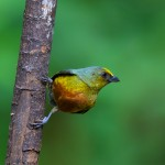 1965 Male Olive-backed Euphonia (Euphonia gouldi)